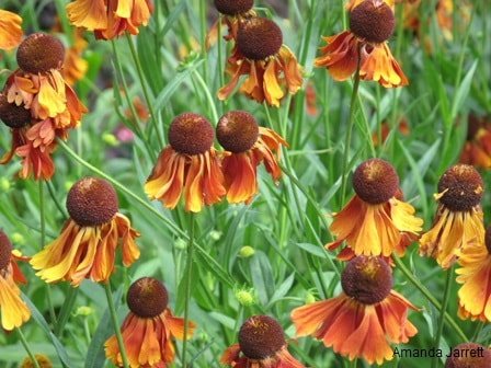 Helenium 'Rubinzwerg,sneezeweed,August gardens,August flowers,summer gardening,pruning,harvesting,harvest,summer lawn care,turf,rose sawfly,Heritage Vancouver,drought,deadheading,pruning,tomato diseases,the garden website.com,Amanda's Garden Consulting,Amanda Jarrett