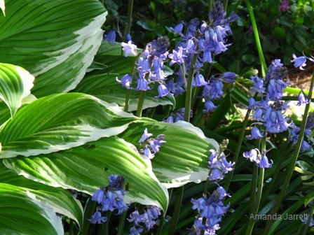 Hyacinthoides non-scripta,English bluebells,The Garden Website.com,Amanda Jarrett,Amanda's Garden Consulting