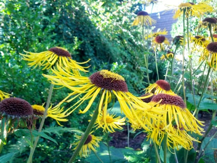Inula,fleabane,August gardens,August flowers,summer gardening,pruning,harvesting,harvest,summer lawn care,turf,rose sawfly,Heritage Vancouver,drought,deadheading,pruning,tomato diseases,the garden website.com,Amanda's Garden Consulting,Amanda Jarrett