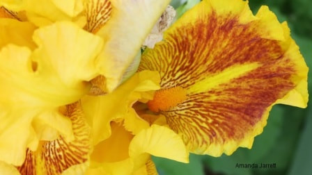 Iris germanica,May gardens,May flowers,May garden chores,pruning,bedding plants,annuals,planting plants,soil improvement,fertilizers,houseplants,tropical plants,vegetable gardening,companion planting,succession planting,crop rotation,mulch,The Garden Website.com,Amanda's Garden Consulting,Amanda Jarrett