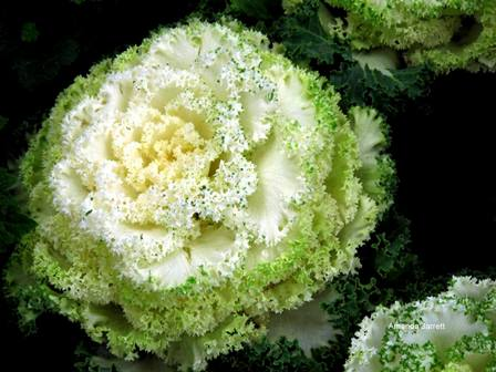 ornamental kale,September plant of the month,thegardenwebsite.com,Amanda Jarrett