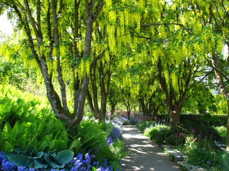 Laburnum,golden chain tree,May gardens,May flowers,May garden chores,pruning,bedding plants,annuals,planting plants,soil improvement,fertilizers,houseplants,tropical plants,vegetable gardening,companion planting,succession planting,crop rotation,mulch,The Garden Website.com,Amanda's Garden Consulting,Amanda Jarrett