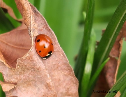 ladybugs,lady birds,beneficial insects,controlling insects,pest control,Amanda Jarrett,spring gardens,spring plants,April gardens,April plants,April flowers,April lawn care,spring lawn care,April garden chores,sowing seeds,the Garden Website.com,Amanda's Garden Consulting
