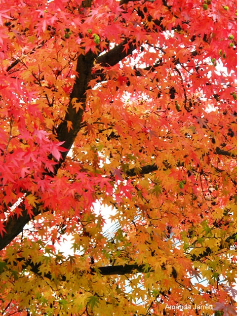 Liquidambar styraciflua,American Sweetgum,November gardening,fall colour,November plants,The Garden Website.com,The Garden Website,Amanda Jarrett,Amanda's Garden Consulting