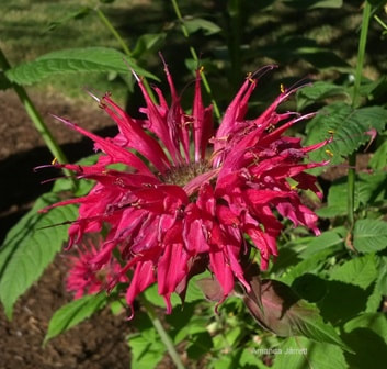 Mondarda,bee balm,August gardens,August flowers,summer gardening,pruning,harvesting,harvest,summer lawn care,turf,rose sawfly,Heritage Vancouver,drought,deadheading,pruning,tomato diseases,the garden website.com,Amanda's Garden Consulting,Amanda Jarrett