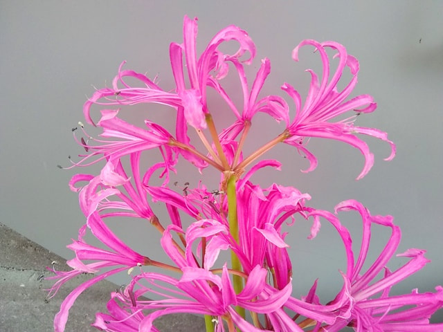 Nerine bowdenii,Guernsey lily,November gardening,November garden chores,November plants,autumn gardening,autumn plants,November plants,slug control,November lawn care,fall planters,planting garlic,houseplant care,spider mites,hardwood cuttings,caterpillars,tree bands, ,The Garden Website.com,The Garden Website,Amanda Jarrett,Amanda's Garden Consulting,garden website