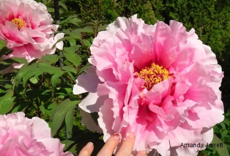 Paeonia suffruticosa,tree peony,May gardens,spring gardens,May flowers,May lawn care,vegetable gardening,pollinators,May garden journal,The Garden Website,com,Amanda's Garden Consulting,Amanda Jarrett,garden website