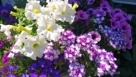 bedding plants,annuals,designing with annuals,The Garden Website,com,Amanda's Garden Consulting,Amanda Jarrett,garden website