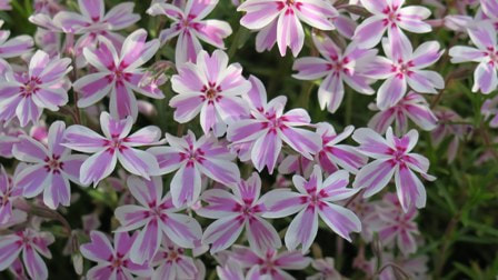 Phlox subulata 'Candy Stripe' moss phlox,May gardens,spring gardens,May flowers,May lawn care,vegetable gardening,pollinators,May garden journal,The Garden Website,com,Amanda's Garden Consulting,Amanda Jarrett,garden website