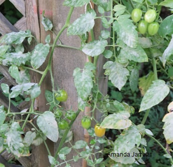 powdery mildew,August gardens,August flowers,summer gardening,pruning,harvesting,harvest,summer lawn care,turf,rose sawfly,Heritage Vancouver,drought,deadheading,pruning,tomato diseases,the garden website.com,Amanda's Garden Consulting,Amanda Jarrett