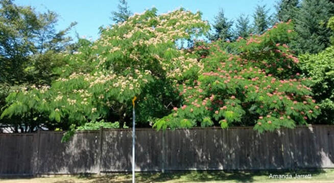 Albizia julibrissin,Persian silk tree,mimosa,,the garden website.com,the garden website,Amanda Jarrett,Amanda's Garden Consulting