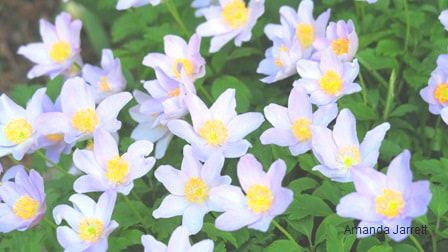 wood anemone nemerosa,May gardens,spring gardens,May flowers,May lawn care,vegetable gardening,pollinators,May garden journal,The Garden Website,com,Amanda's Garden Consulting,Amanda Jarrett,garden website