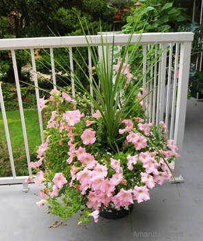 May planters,growing in containers,thrill,fill and spill,The Garden Website,com,Amanda's Garden Consulting,Amanda Jarrett,garden website