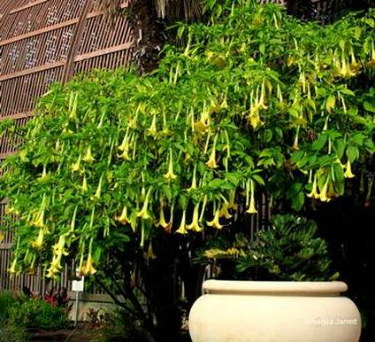 Brugmansia,May gardens,May flowers,May garden chores,pruning,bedding plants,annuals,planting plants,soil improvement,fertilizers,houseplants,tropical plants,vegetable gardening,companion planting,succession planting,crop rotation,mulch,The Garden Website.com,Amanda's Garden Consulting,Amanda Jarrett