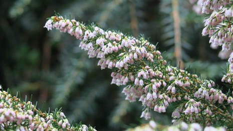 Erica arborea 'Spring Smile',tree heath,tree heather,December Gardening,December Plants,Christmas tree selection,festive planters,winter plants,gift plants,hardwood cuttings,The Garden Website,Amanda's Garden Consulting,Amanda Jarrett