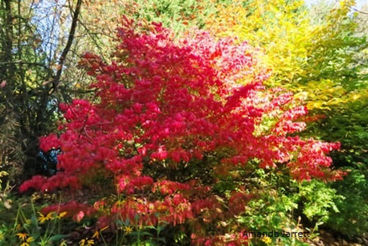 dwarf burning bush,winged euonymus,winged spindle tree,Euonymus alatus 'Compactus',the garden website.com,September Plant of the Month, Amanda's Garden Consulting,Amanda Jarrett,fall colour