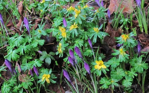 Eranthis hyemalis,winter aconite,crocus,February plants,February  Gardens,February plants,winter gardening,the Garden Website.com,Amanda Jarrett,Amanda's Garden Consulting