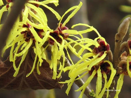 Chinese witch hazel,Hamamelis mollis,the garden website.com,January garden,January flowers,Amanda Jarrett,thegardenwebsite.com
