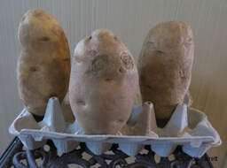 chitting potatoes,February  Gardens,February plants,winter gardening,the Garden Website.com,Amanda Jarrett,Amanda's Garden Consulting
