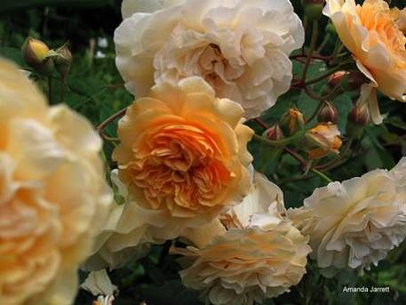 hybrid musk,Rosa Buff Beauty,spring gardening,April gardens,April gardening,the garden website.com,Lee Valley Tools,Amanda's Garden Consulting,Amanda Jarrett