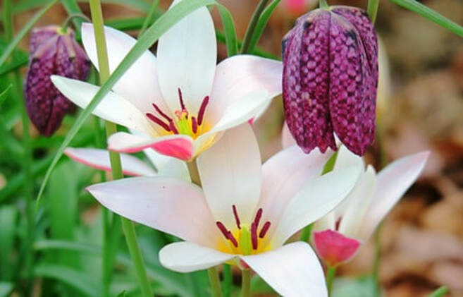 Tulipa clusiana 'Peppermint Stick' tulip,Fritillaria meleagris,checkered lily,Amanda Jarrett,spring gardens,spring plants,April gardens,April plants,April flowers,April lawn care,spring lawn care,April garden chores,sowing seeds,the Garden Website.com,Amanda's Garden Consulting