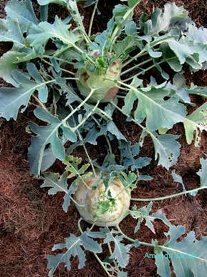 kohlrabi,spring gardening,April gardens,April gardening,the garden website.com,Lee Valley Tools,Amanda's Garden Consulting,Amanda Jarrett