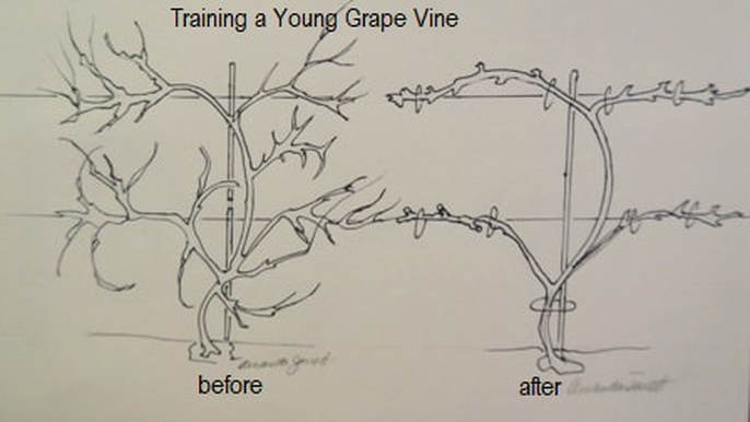 Pruning Grapes In Winter The Garden Website Com