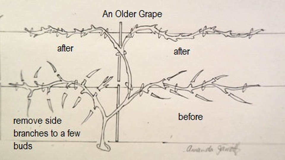 Prune Grape Vines Mangan