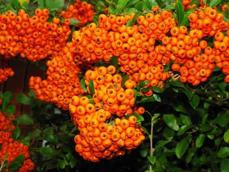 Pyracantha coccinea,firethorn,fall berries,November gardening,November plants,The Garden Website.com,The Garden Website,Amanda Jarrett,Amanda's Garden Consulting