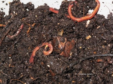 red wriggler worms in compost