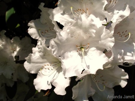 Rhododendron 'Mount Everest',May gardens,spring gardens,May flowers,May lawn care,vegetable gardening,pollinators,May garden journal,The Garden Website,com,Amanda's Garden Consulting,Amanda Jarrett,garden website