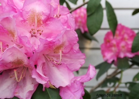 rhododendron,May garden chores,spring gardening,May garden journal,The Garden Website,com,Amanda's Garden Consulting,Amanda Jarrett,garden website