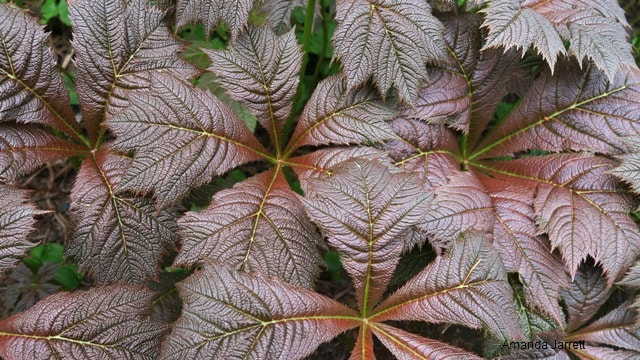 Rodgersia pinnata,rodgersia,plants for wet soil,November gardening,November plants,The Garden Website.com,The Garden Website,Amanda Jarrett,Amanda's Garden Consulting