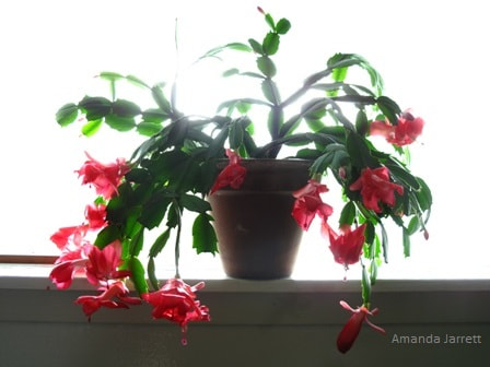 holiday cactus,Schlumbergera,November gardening,November plants,The Garden Website.com,The Garden Website,Amanda Jarrett,Amanda's Garden Consulting