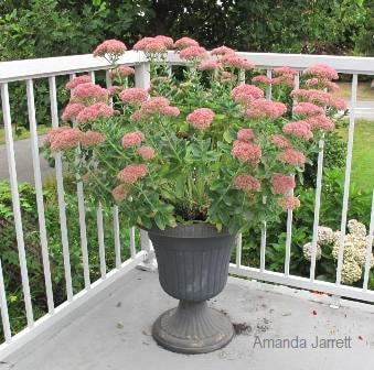 Autumn Joy sedum,pruning perennials,The Garden Website,com,Amanda's Garden Consulting,Amanda Jarrett,garden website