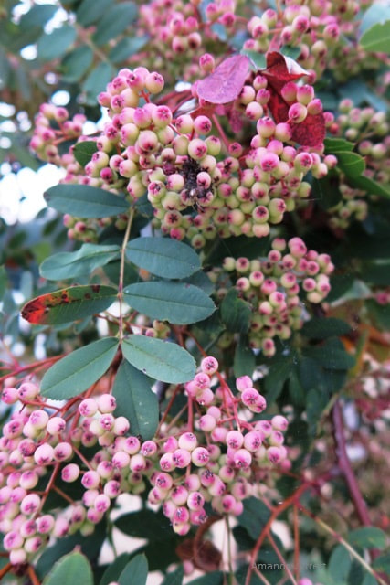 Sorbus hupehensis 'Pink Pagoda',mountain ash,rowan tree,wizard's tree,Sorbus aucuparia,The Garden Website.com,November Plant of the month,Amanda's Garden Consulting,Amanda Jarrett,garden website