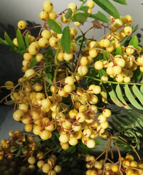 Sorbus 'Joseph Rock' mountain ash,rowan tree,wizard's tree,Sorbus aucuparia,The Garden Website.com,November Plant of the month,Amanda's Garden Consulting,Amanda Jarrett,garden website