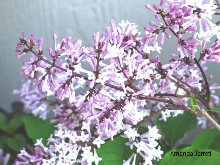 Syringa pubescens subsp. patula 'Miss Kim' Korean lilac,May gardens,spring gardens,May flowers,May lawn care,vegetable gardening,pollinators,May garden journal,The Garden Website,com,Amanda's Garden Consulting,Amanda Jarrett,garden website