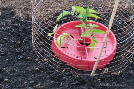 how to grow tomatoes,growing tomatoes,starting tomatoes from seed,The Garden Website.com,Amanda Jarrett,Amanda's Garden Consulting,the garden website