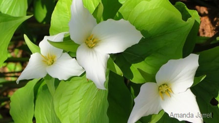 Trillium erectum f. albiflorum,white red trillium,Amanda Jarrett,spring gardens,spring plants,April gardens,April plants,April flowers,April lawn care,spring lawn care,April garden chores,sowing seeds,the Garden Website.com,Amanda's Garden Consulting
