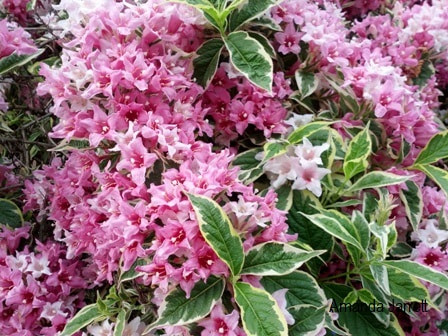 Weigela 'Florida Variegata',variegated weigela,May gardens,spring gardens,May flowers,May lawn care,vegetable gardening,pollinators,May garden journal,The Garden Website,com,Amanda's Garden Consulting,Amanda Jarrett,garden website