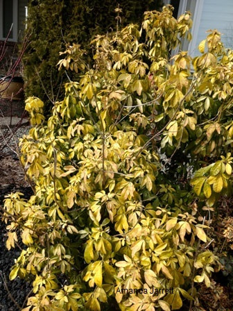 winterkill,Choisya ternata,May gardens,May flowers,May garden chores,pruning,bedding plants,annuals,planting plants,soil improvement,fertilizers,houseplants,tropical plants,vegetable gardening,companion planting,succession planting,crop rotation,mulch,The Garden Website.com,Amanda's Garden Consulting,Amanda Jarrett
